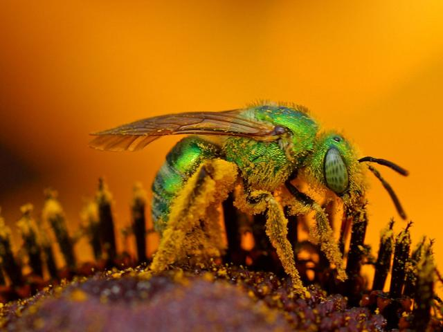 green-sweat-bee