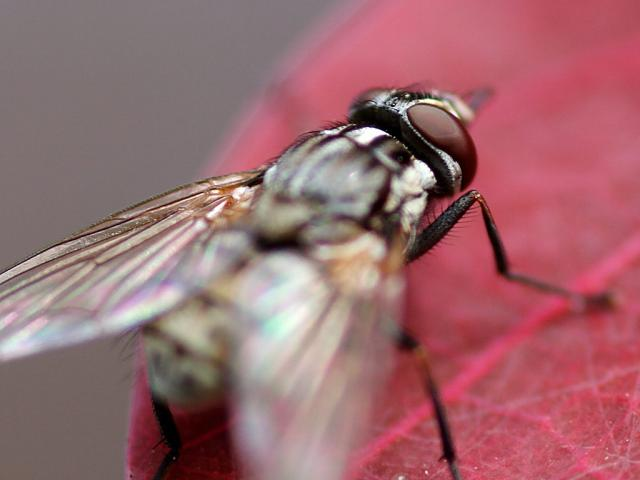 red-leaf-and-housefly